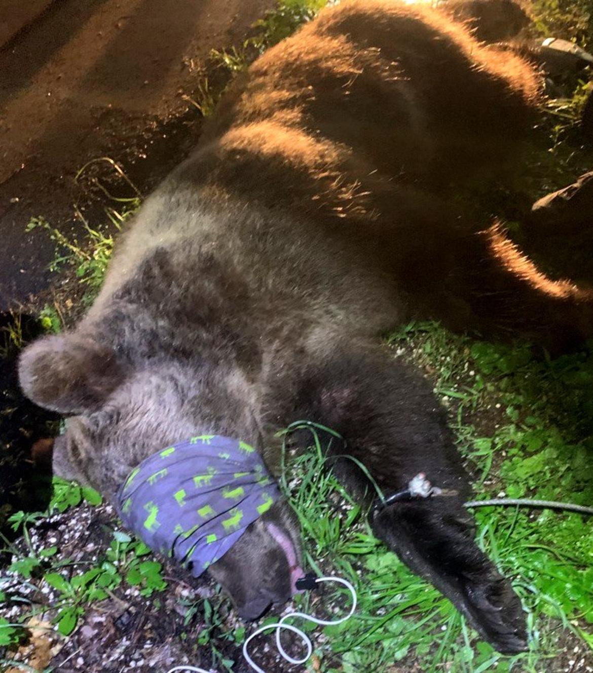 Catturato nella notte orso a Andalo dopo l'aggressione ad un ...
